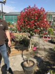 PHOTINIA FRASERI CARRE  ROUGE CLT 2
